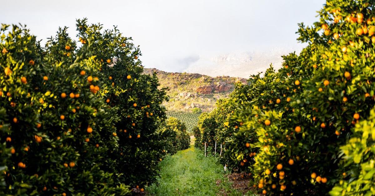 Australia Citrus Orchard